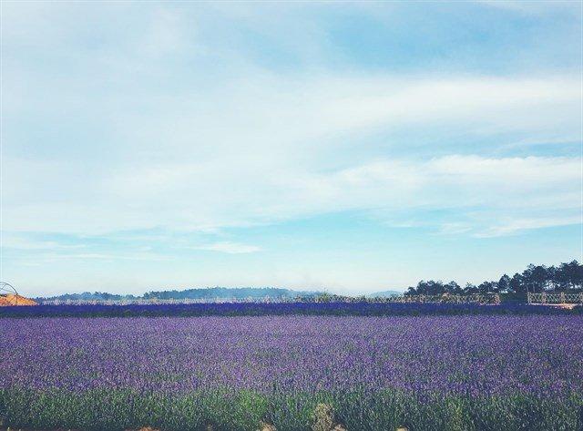 Hoa lavender cầu đất